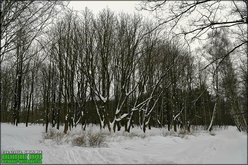 каштан зимой